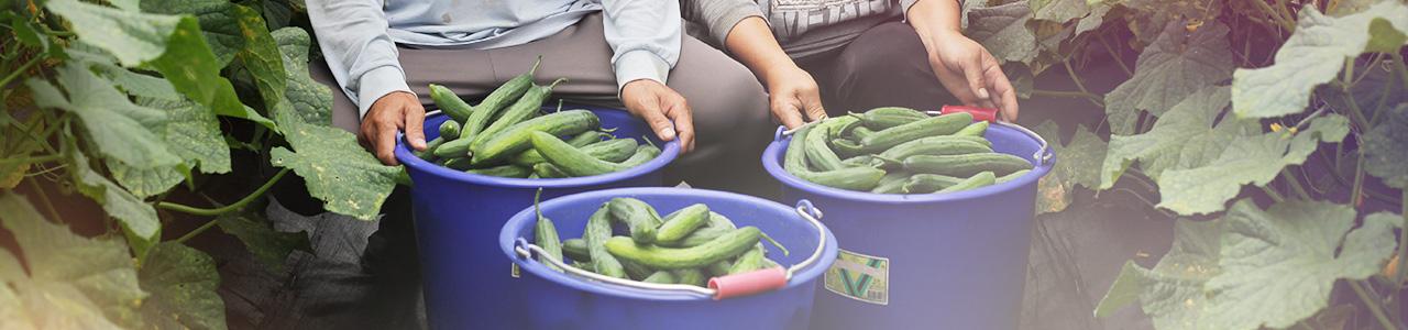 一籃籃小黃瓜