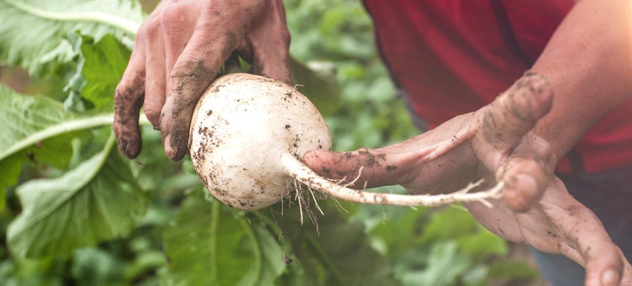 就是因為健康有機,蘿蔔的根才可以這麼長!