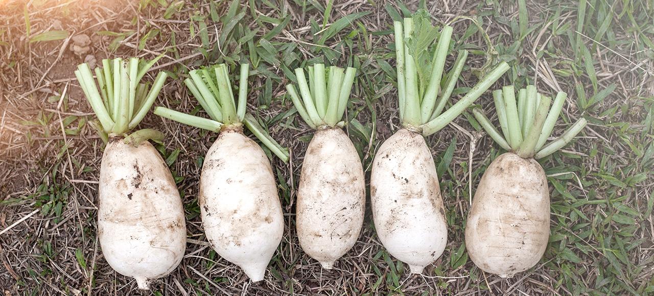 肥白又厚實的現採白蘿蔔